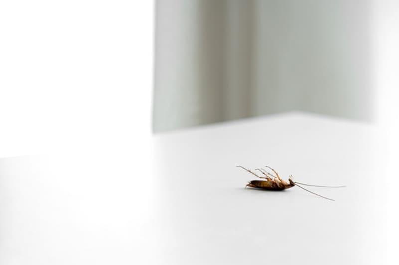 แมลงสาบ